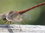 Dragonfly Enjoying The Sun