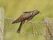 Young Cuckoo at Shingle Street