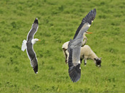 Lesser Black-backed Gull seeing off a Heron