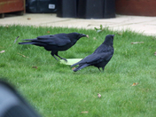CROWS AND MEALWORMS