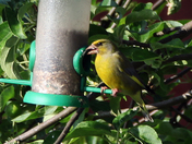 GREENFINCH TAKING HIS TIME