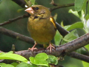 Green finch hiding in our tress