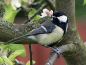 GREAT TIT ON THE LOOK OUT