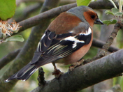 Chaffinch not sure what to do next