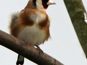 Fluffed up goldfinch