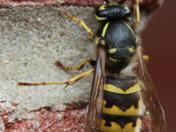Bedragled wasp