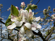 WORCESTER PEARMAIN APPLE BLOSSOM