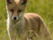 Fox Cub at Boyton Marshes