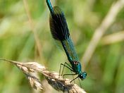 Male and female banded demoiselle