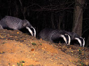 Badgers feeding at dusk