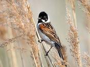 Reed Bunting at Boyton Marshes