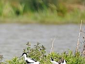 Birds at Boyton Marshes