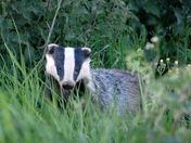 Bramford Badger