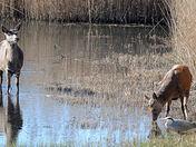 Red Deer and Grey Heron