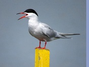 Common Tern on Yellow post, Hickling Broad