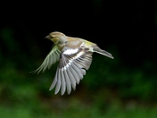 Chaffinch in flight