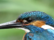 Kingfisher Close-up