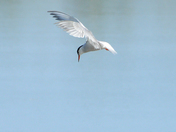 Common Tern, Snettisham RSPB