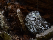 Little Owl at Wolterton