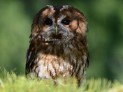 Tawny Owl in Swanton Novers Woods