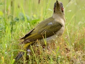 Green Woodpecker eating Ants