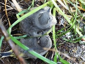 Grey Wagtail chicks and mother