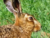 Handsome Hare
