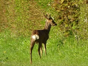 Roe deer in the very early morning sunshine.