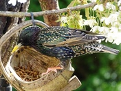 Starling feeding on mealworms from the trug.