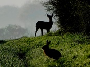 Silouette of Deer and Hare in the ealy morning dew and mist.