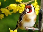 Finches visit the garden.