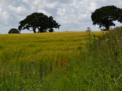 Barley Hill.