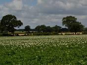 Taters & Barley.