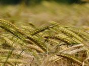 Ears of Barley.
