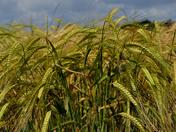 Ripening Barley
