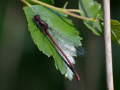 More Hickling Damsels