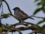 Village Sparrows
