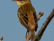 Sedge Warblers on song (part 1)