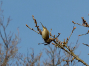 The acrobatic Chiffchaff
