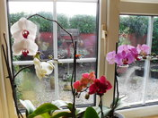 ORCHID WINDOW.