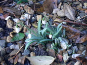 MY FIRST SNOWDROPS.