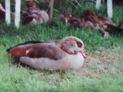 EGYPTIAN GEESE SNOOZE TIME.
