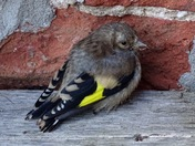 A young goldfinch taking a rest in the garden.