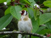 Goldfinch taking a rest 16.30 in the afternoon.