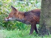 Fox in the garden 31/05/16