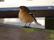 Chaffinch at Dunwich on 12/05/16