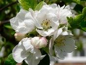 Apple blossom on 15/05/16