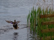 Mallard about to land on the water 22/05/16