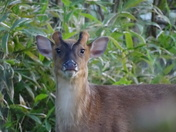 Muntjac visiting the garden once again 19.34 pm