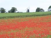 Poppies at Burnham Overy.